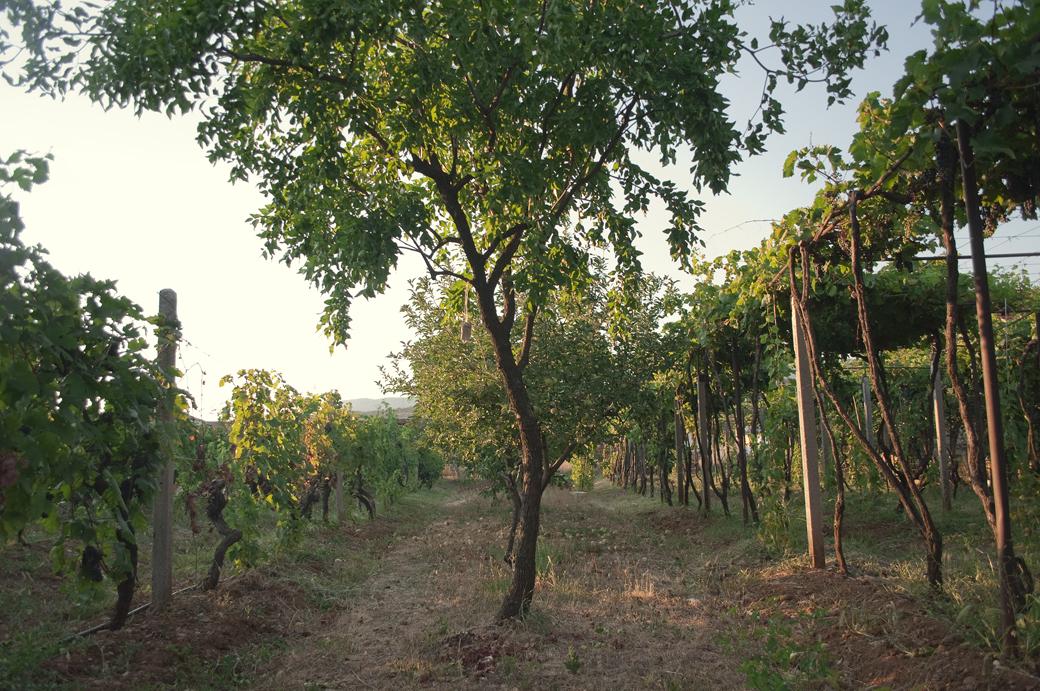 Small vineyard near Moraca river